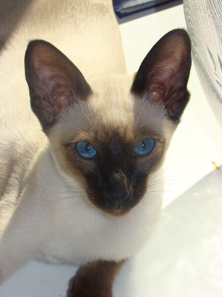 Seal-point, Siamese kitten | Dreamjax kittens | Pinterest ...
