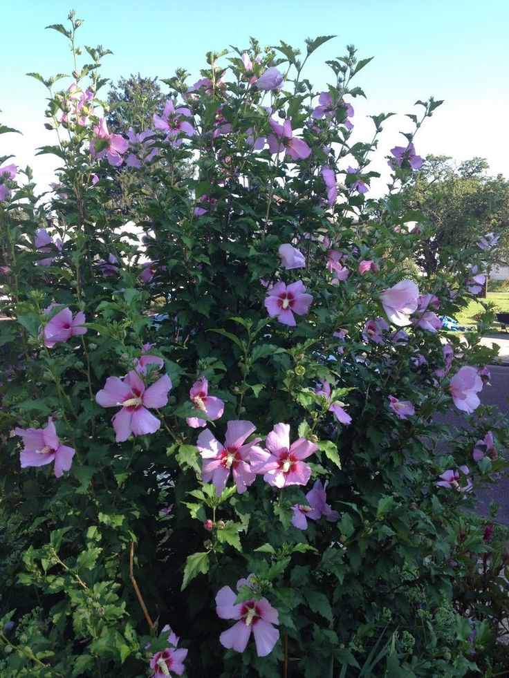 Hibiscus how to grow http://www.growplants.org/growing/hibiscus-rosa-sinensis ,Rose of Sharon 50 Seeds