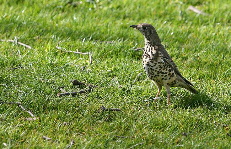 Results from the RSPB's annual Big Garden Birdwatch survey have shown that mistle thrushes are now being seen in fewer than half the number of gardens they were spotted in 10 years ago. The RSPB is urging the public to take part in this year's survey, which takes place this weekend, to help gather important information on how mistle thrushes and other garden bird species are doing