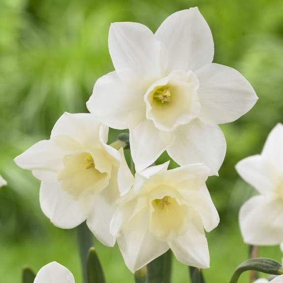 Daffodil (Narcissus) Pueblo. A perky little daffodil that opens soft, primrose yellow. As the flowers mature, the cup stays yellow and the petals fade to creamy white.