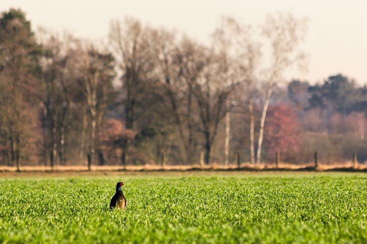 Taking in the Sun - {Nederlands/Dutch}Tijdens een ochtendwandeling viel mijn oog op deze fazant. Na zo stil mogelijk tot in de berm aan de rand van het veld te kruipen, heb ik een uurtje daar liggen fotograferen. Deze foto is genomen rond het moment dat hij zich minder begon aan te trekken van mijn aanwezigheid.{English/Engels}During a morning walk, my eye fell on this pheasant. After silently sneaking into the bank next to the field I stayed there about an hour photographing. This…