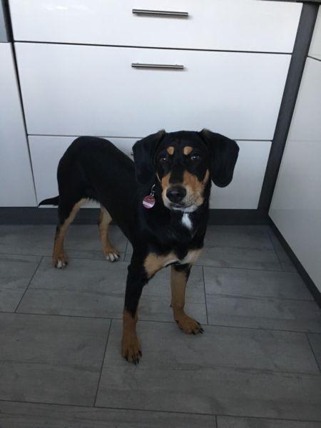 Wir suchen hundeerfahrenes neues Zuhause für unsere griechische bracke. Sie ist 6 Monate alt,...,Neues Körbchen gesucht in Düren - Düren