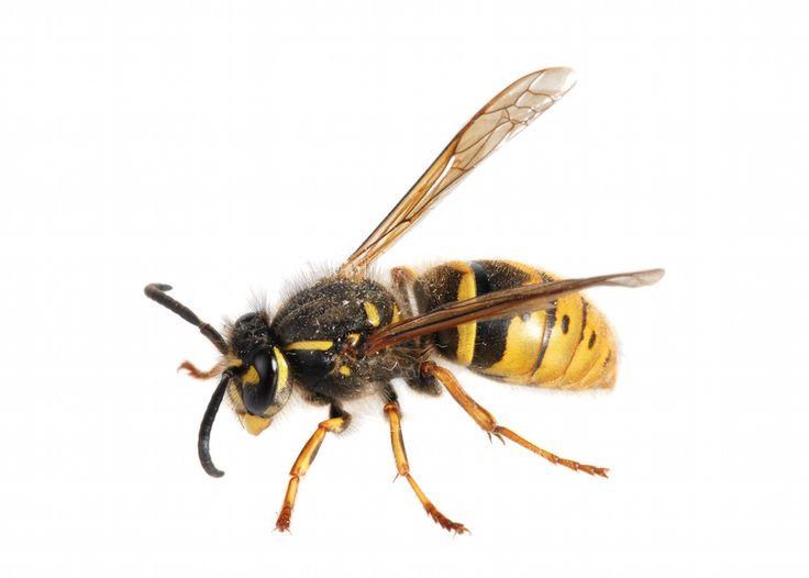 Anti guepe maison guepe1jpg les plantes rpulsives anti - Comment trouver un nid de mouche ...