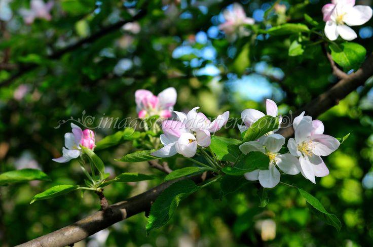 fond vert printemps fleur de pomme