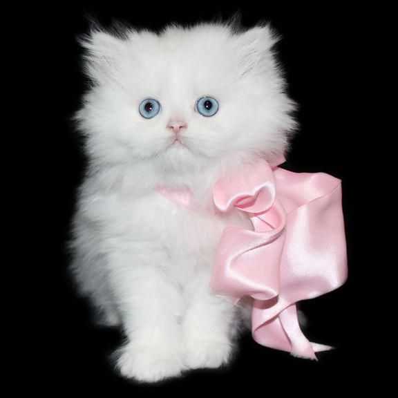 Teacup Kitten Breeder Specializing In Doll Faced Chinchilla White And Silver Teacup Persian Kitt Persian Cat Doll Face Teacup Persian Kittens Persian Kittens
