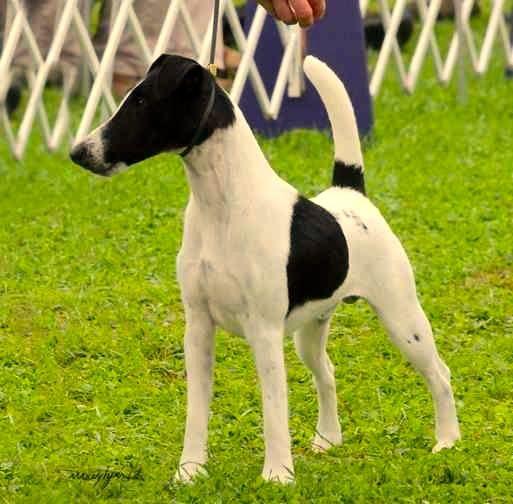 Fox Terrier de pelo liso, características y cuidados