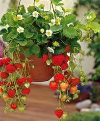 Come coltivare fragole in 10 semplici mosse  http://www.lepiantedafrutto.it/piccoli-frutti/coltivare-fragole/