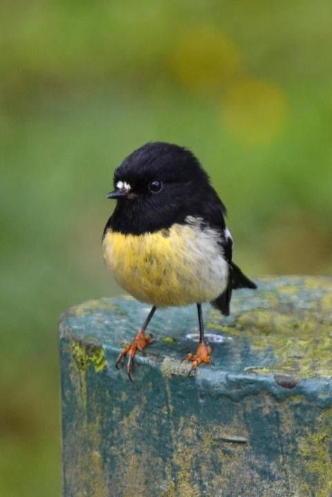 The Tomtit (Petroica macrocephala) is a small passerine bird in the family Petroicidae, the Australian robins. It is endemic to the islands of New Zealand