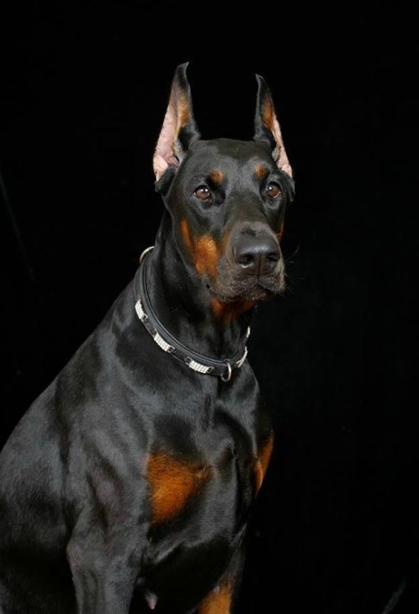 Precious #Doberman #DobermanPinscher