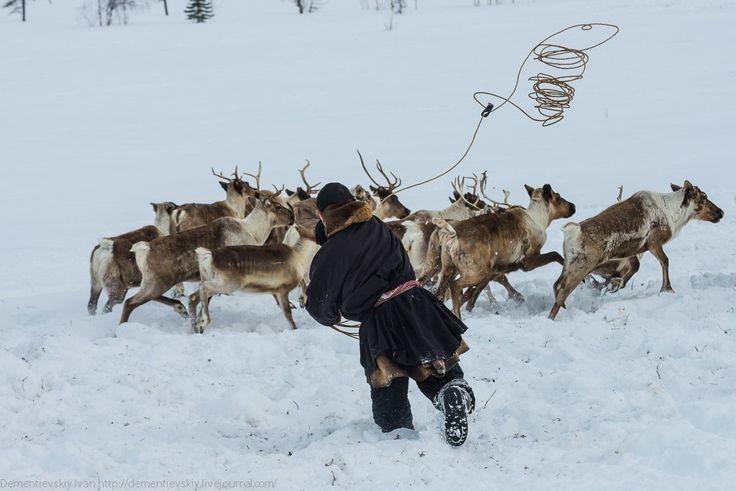 Олень - главное богатство ямальских кочевников :: Фотолента :: Мультимедиа - arctic-info.ru
