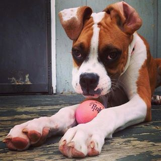 ARTICLE: Does Your Boxer Have A Left Paw or Tail Wag Preference? What does it mean? http://dailyboxer.com/dog-books-2/does-your-boxer-have-a-left-paw-or-tail-wag-preference/ #pawpreference