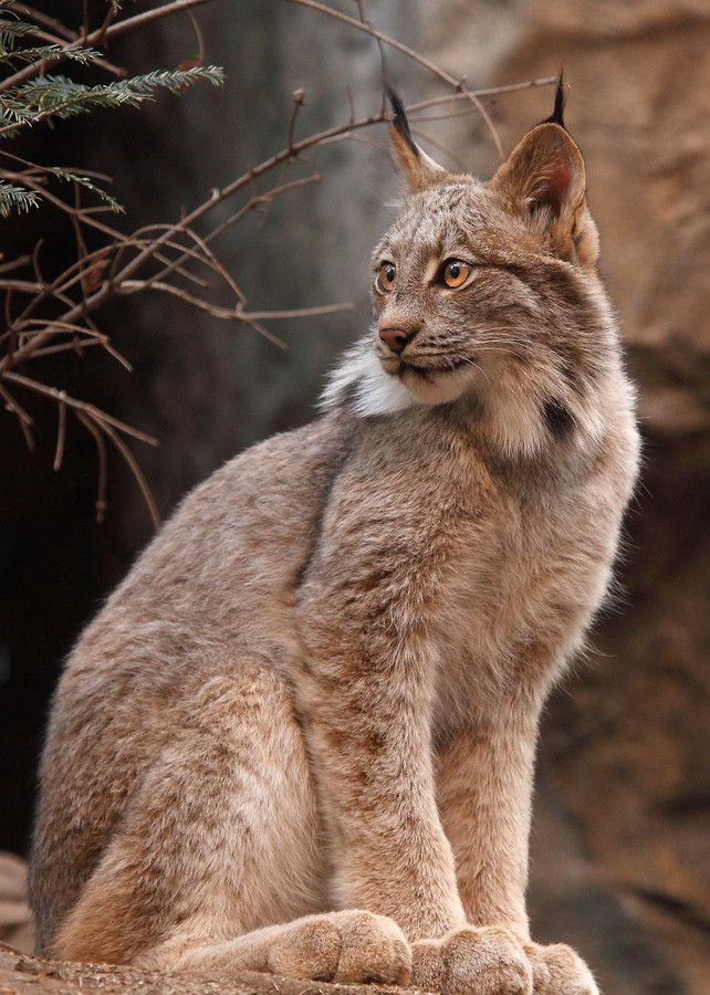 CANADA LYNX by Alain Ranger on 500px