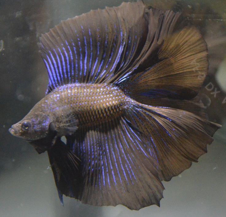 1402 best fish tanks images on pinterest fish aquariums for Rare betta fish