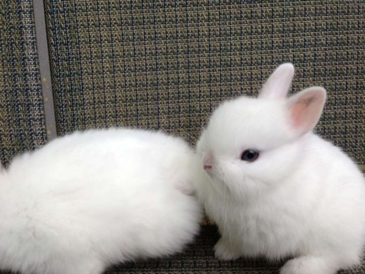 52 best ideas about |netherland dwarf| on Pinterest | Pets ...