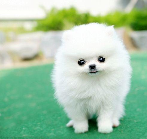 Teacup White Pomeranian Pom Pom Puppy Dogs Similiar To The Volpino