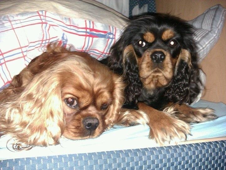 Dette er hundene våre Emma og tassen. Det er to cavalier king cherles spaniel