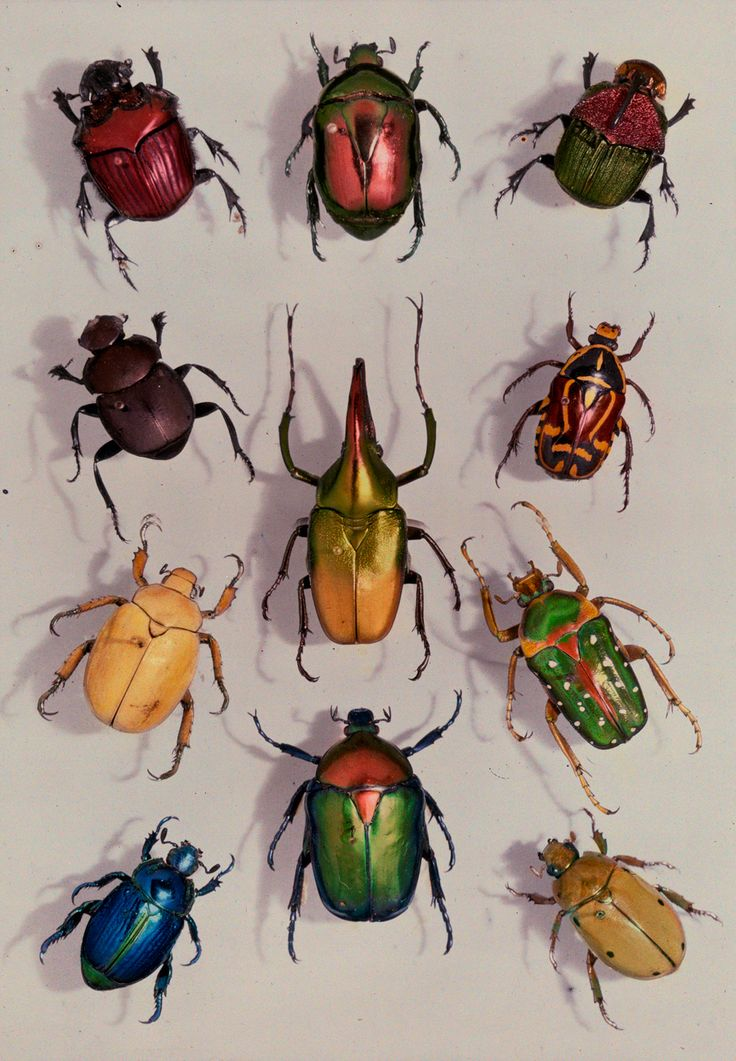 A group of scarabs from the Scarabaeid family, July 1929. PHOTOGRAPH BY EDWIN L. WISHERD, NATIONAL GEOGRAPHIC