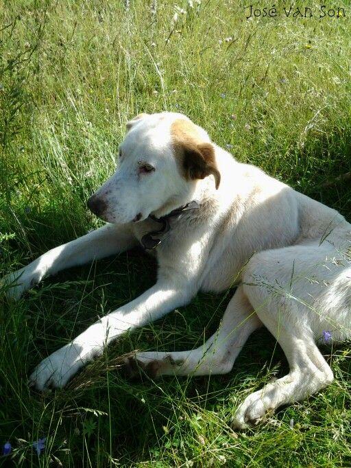 Greek shepherd dog Mt. Smolikas North Greece