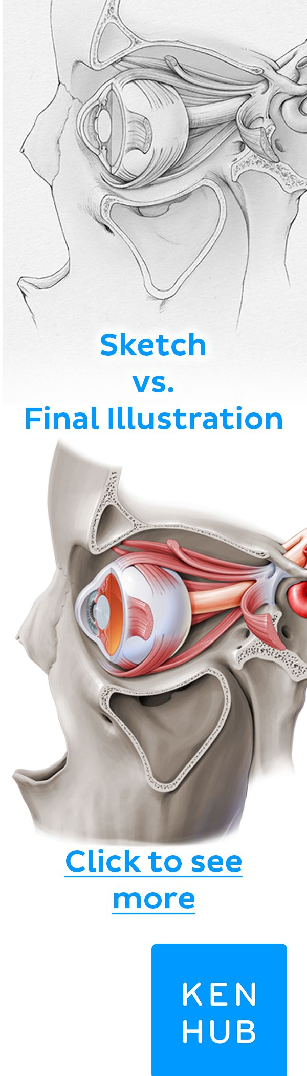 Click on the image and see all the different structures highlighted in this illustration by Paul Kim #anatomy #illustration
