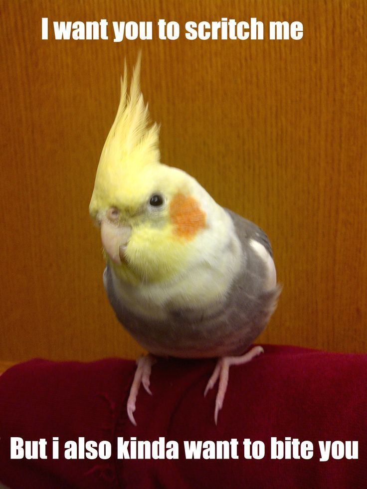 "Jerkatiel. Parrot owner problems! That's why I teach the ""headrub"" command--it means sit still and just take it."