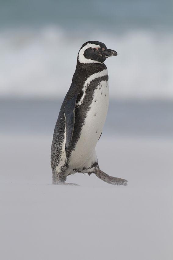 Magellanic Penguin by David Hemmings