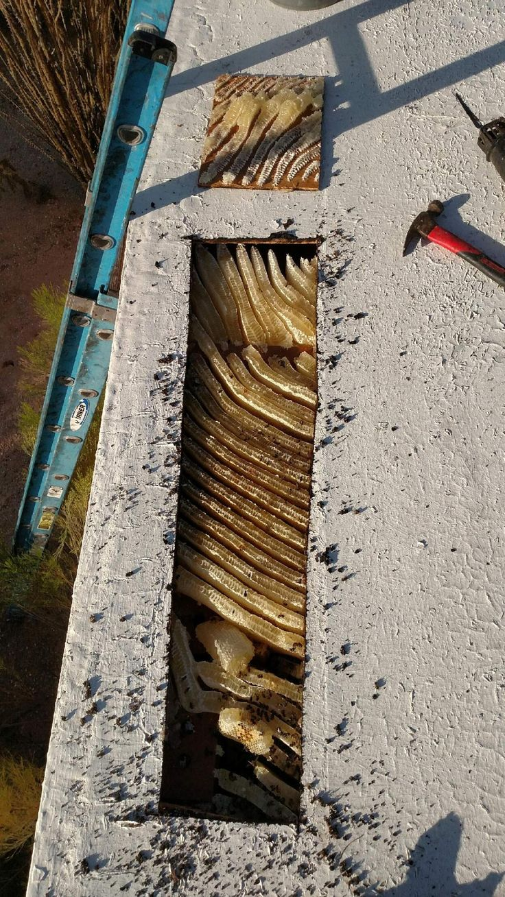 Africanized honey bees can build a hive very quickly once they get started! If resources are available, up to 5-10 pounds of hive per week! Desert Swarm removed this huge hive from a roof. #africanizedbees #tucsonaz