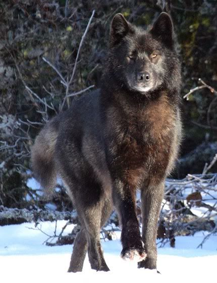 Wolf Photo:  This Photo was uploaded by twisted_humor33. Find other Wolf pictures and photos or upload your own with Photobucket free image and video hos...