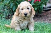 Goldendoodle - Miniature Puppy: Luke