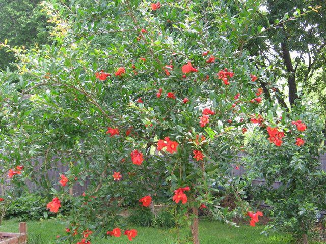 pomegranate for rosh hashanah
