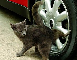 When cats pee on the wheel of the car it makes the owner feel bad because the cat is not suppose to do that