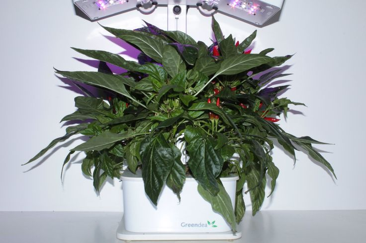 La coltivazione di peperoncino senza avere a disposizione un orto od un giardino è semplice con il coltivatore idroponico di Orto Arredo