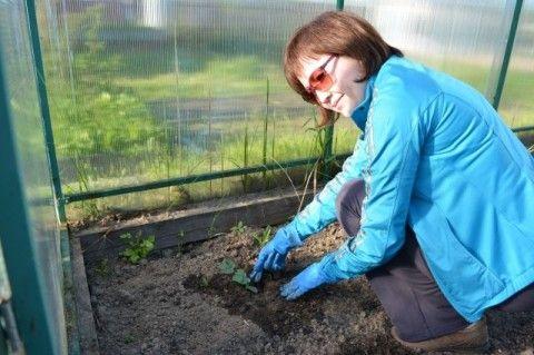 Секреты северной бахчи. Как вырастить арбузы и дыни в холодном климате