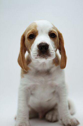 Beagle pup Toby by Mauricio Méndez (Metra) on Flickr.