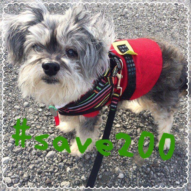 小鉄も賛同します! #save200 #2000の野犬たちを救えプロジェクト #殺処分反対 #大切な命#みんなで救おう#小鉄#愛犬#パピプー#老犬#シニア犬 #糖尿#闘病中#頑張れ#大好き
