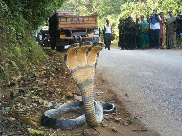 انتشرت مؤخرا صورة مثيرة للجدل لثعبان سام من فصيلة الكوبرا المرعبة يقف في زهو بإحدى القرى الهندية حاملا على جسده 3 رؤوس Strange Photos Unusual Pictures Snake