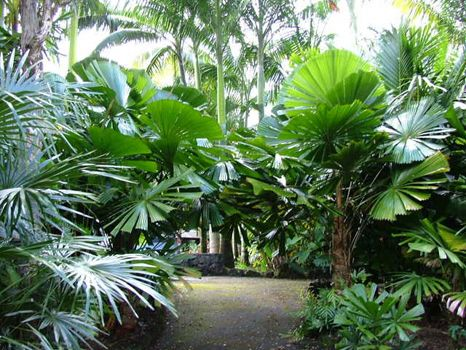 Licuala ramsayi (Australian Fan Palm) - native to NE Queensland - grows to 15m