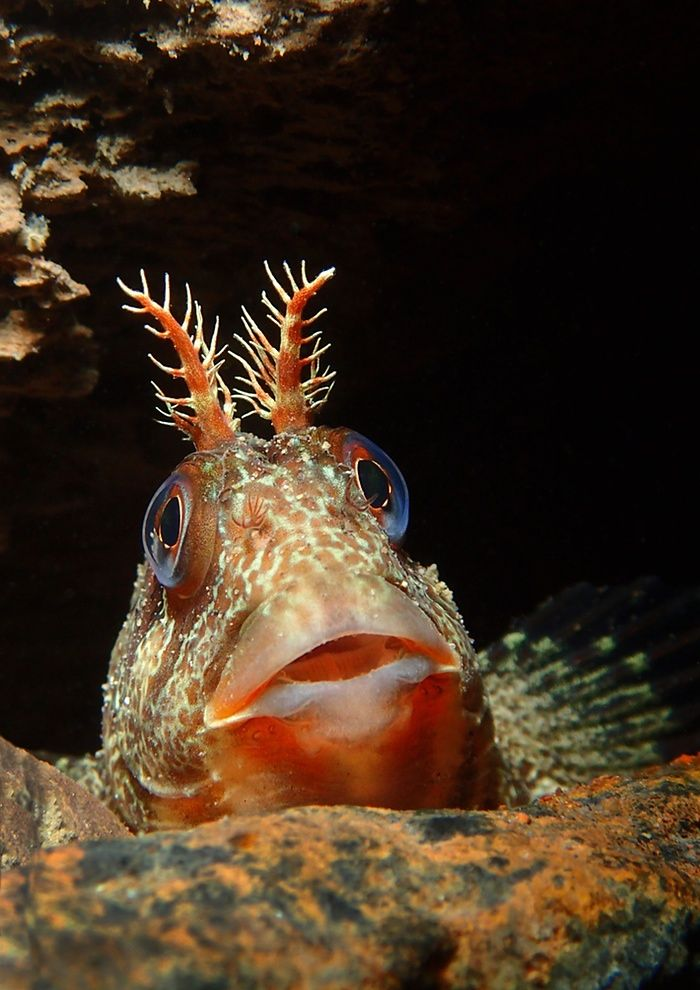 British waters compact category runner-up Tompot looking out by Trevor Rees (UK) Location: Trefor Pier, north Wales'This tompot blenny was hiding in a hole among the legs of a sea pier. Some of these fish are quite shy while others.,,