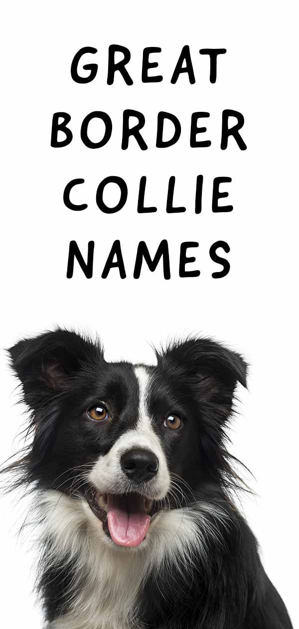 99 Names For Female Border Collies Dog Names Collie Puppies