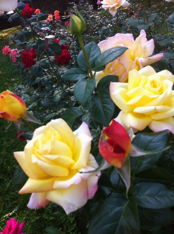 Autumn roses @ Gura Humorului