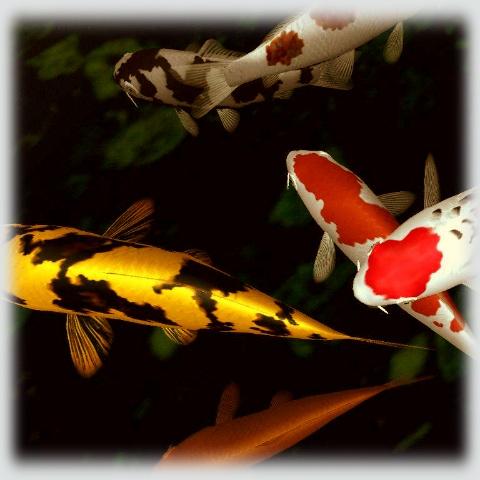 12 best japanese koi fish images on pinterest japanese for Koi pond basics