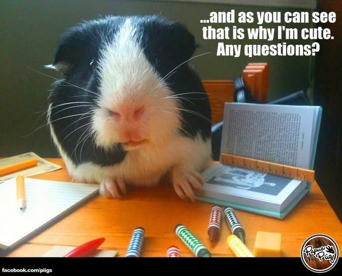 Funny Any Questions Meme : This is why i m cute any questions guinea pig memes