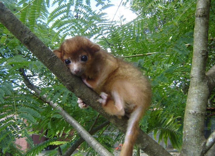 Baby Kinkajou Animals Rodent Weasel Skunk Pinterest