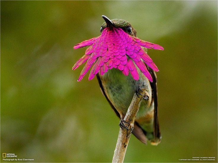 El maravilloso colibrí de garganta violeta   La Reserva