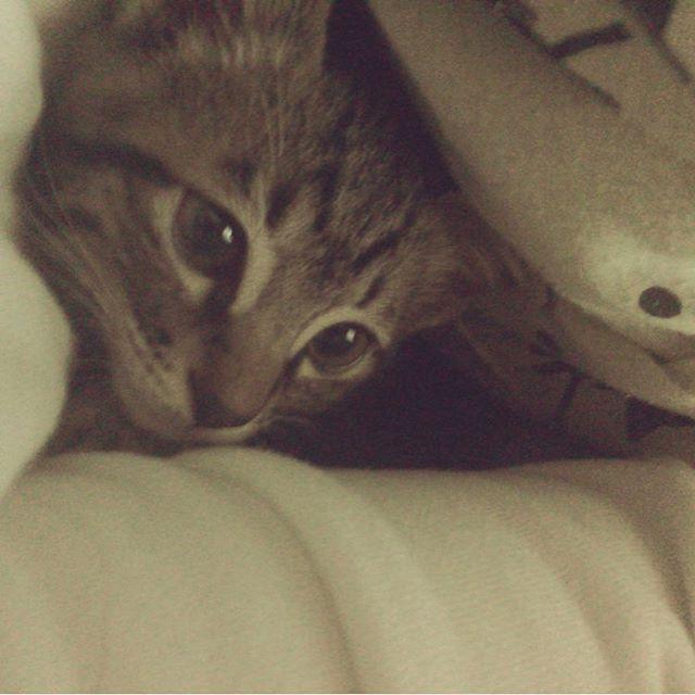 . あーーーー、エンジェル👼💕💕 久しぶりにしーちゃんと寝れる、、、 布団の中入ってくるのやばい〜〜 今日も可愛いすぎる、らぶ💖 . 本日の #しーちゃんタイム #しめさば  #こねこ #猫日記  #ねこ  #🐱 #💗 #保護猫 #ねこら部 #にゃんこ #猫派 #ねこバカ #ねこ愛しすぎ病  #ねこ好き #多頭飼い #ねこもふ #かわいい #愛猫 #溺愛猫 #cat #cute #love #catstagram #ねこすたぐらむ #にゃんだふるらいふ .