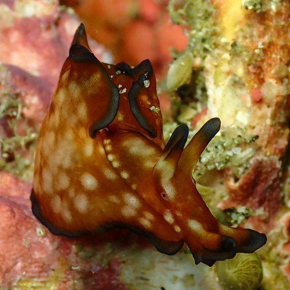 Nudibranch - exploring Molo Strait - Let's Macro #indonesia #flores #komodo #molostrait #nudibranch #colors #scuba #scubaba #livetoscuba #scubadiving #underwaterphotography #macro #olympus #padi #instapic #instadive #nofilter