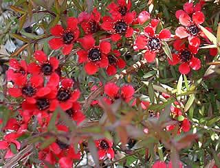 Leptospermum scoparium 'Red Ensign'  It is possible that this is the same plant as, or near to, Leptospermum scoparium 'Nichollsii Improved'.