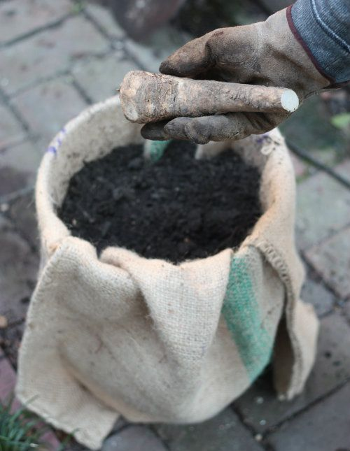 How To: Plant & Grow Horseradish Root in a pot