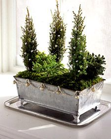 Miniature junipers in galvanized tin planter ~