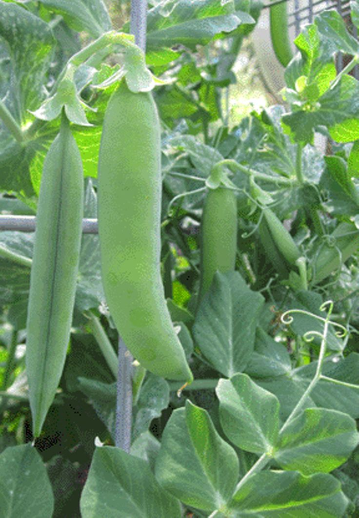 Vegetable Gardening for Dummies You don't need fancy equipment or gardening expertise to grow your own food.
