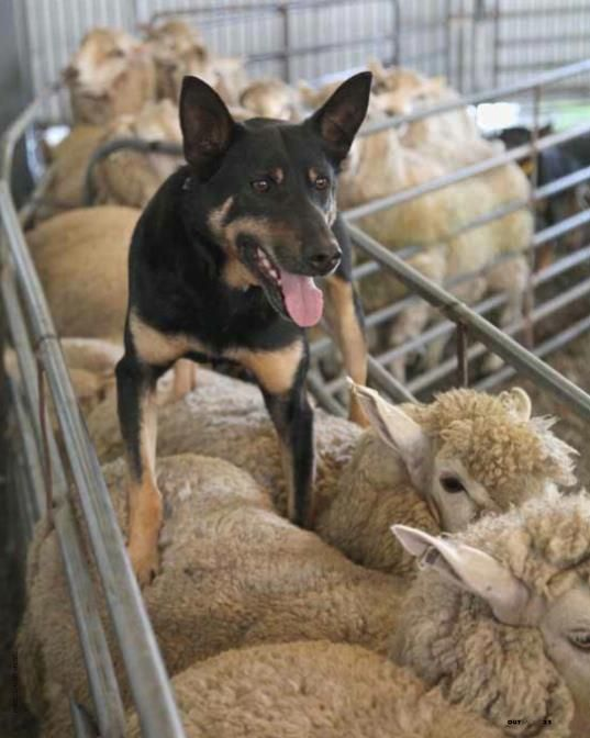 Crowdsurfing in the outback? Kelpie dog outback Australia. Looks like Daisy!